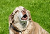 picture of encounter  - Large mixed breed dog barking with bottom teeth showing over grass background.