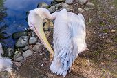 Pelican In The Zoo. Big Bird. A Bird In Captivity. Animals In The Zoo. poster
