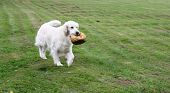Beautiful White Dog Fetching A Ball In Summer poster