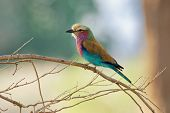 Lilac-breasted Roller - Coracias Caudatus - Colorful Magenta, Blue, Green Bird In Africa, Widely Dis poster