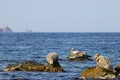 Seals (spotted Seal, Largha Seal, Phoca Largha) Laying On Coastal Rocks In Sunny Day. Wild Spotted S poster