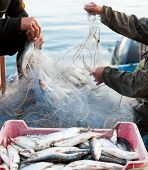 picture of cisco  - two fishers take fish out of a net - JPG