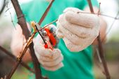 A Man Cuts Grapes Close-up. Gardener And Pruner For Pruning Grapes. Autumn And Spring Pruning Of Gra poster