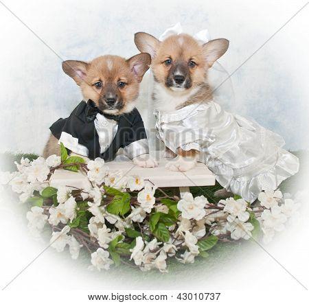 Dackel-Welpen-Hochzeit
