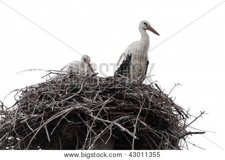 Family Of Storks In Nest