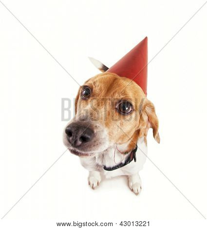 a beagle with a birthday hat on