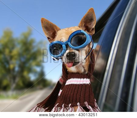 a chihuahua in a car