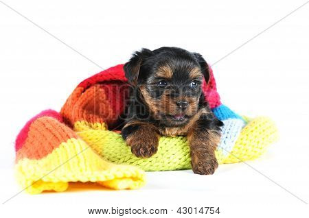 Yorkshire Terrier Puppy In A Scarf