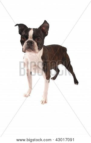 Brindle And White Boston Terrier Standing