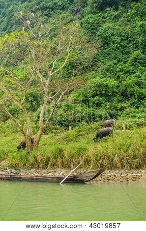 Water buffaloes and wooden boat, Phong Nha-K? B� ng National Park, Vietnam