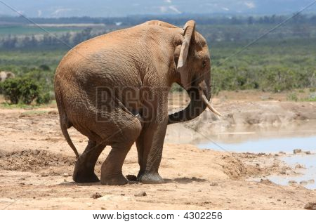 Male Elephant Behaviour