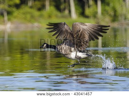 One Goose Taking Off