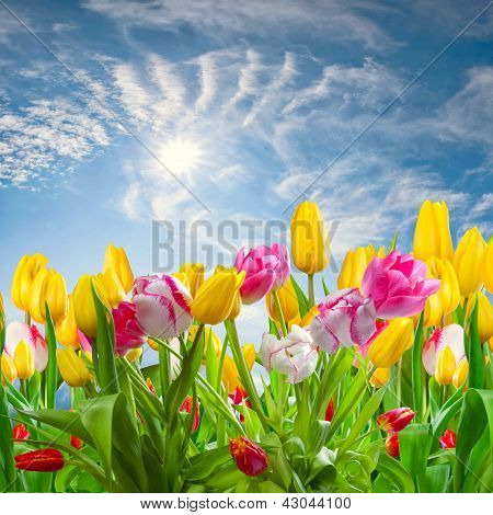 Landscape With Tulip Flowers