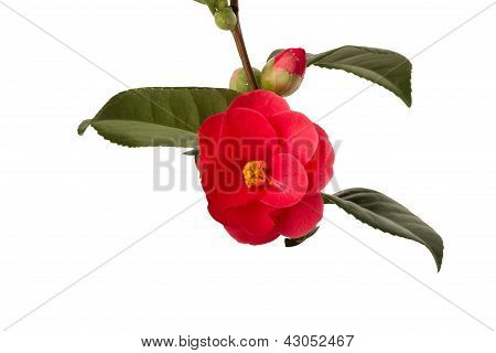 Isolated Camelia
