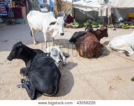 Cows Resting At The Street