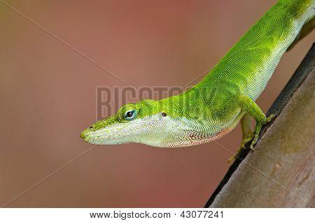 Green Anole lizard (Anolis carolinensis)