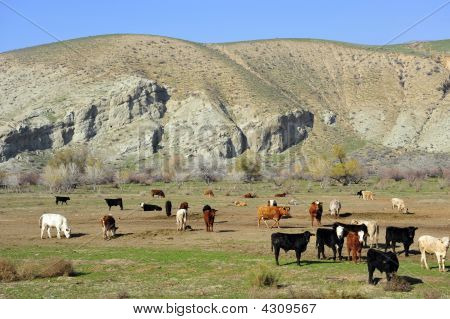 Cattle Feed Lot
