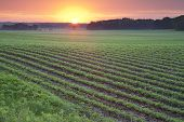 image of soybeans  - Young soybean plants in field at dawn in Minnesota - JPG