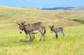 stock photo of burro  - A mother and baby burro in custer state park south dakota - JPG