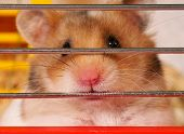 image of gerbil  - Little hamster sitting inside a Cage - JPG