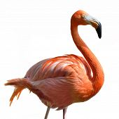 stock photo of pink flamingos  - Pink Flamingo  On White Background - JPG