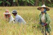 stock photo of banana tree  - Farmers harvesting rice in northern Thailand - JPG