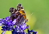 picture of blue-salvia  - American Lady butterfly  - JPG