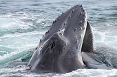 picture of whale-tail  - A humpback whale comming up to breath - JPG