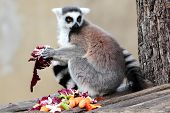 Ring-tailed Lemur (lemur Catta) Eating Fruits And Vegetables