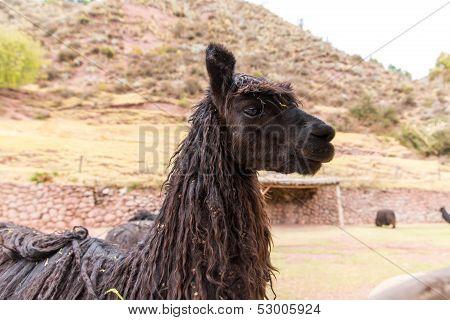 Peruvian  Llama. Farm Of Llama,alpaca,vicuna In Peru,south America. Andean Animal.llama Is South Ame