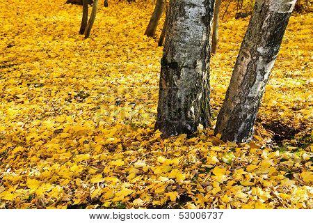 Yellow Leaf Litter Under Birch Trees
