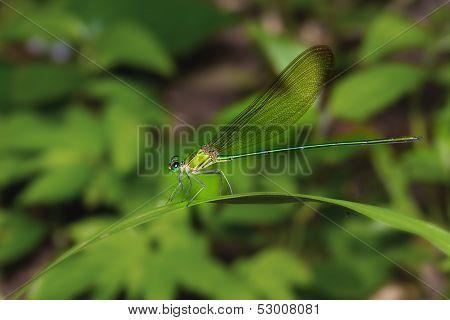 Green Damselfly On Leaf