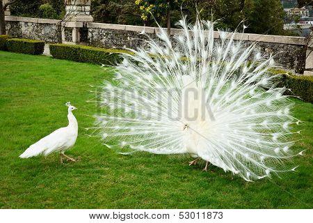 White Peacocks