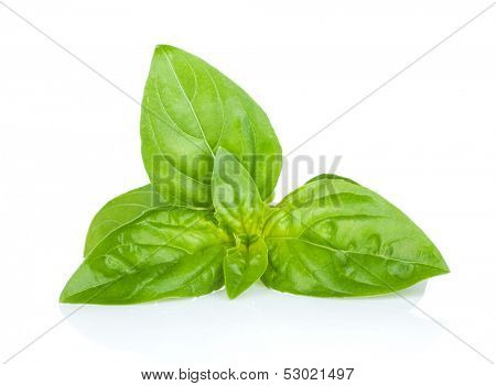 Fresh basil. Isolated on white background