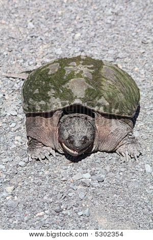 Common Snapping Turtle Tu055