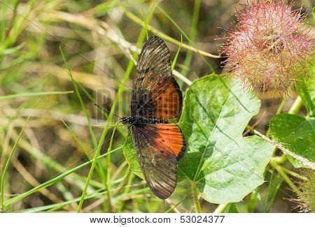 Upperside Of Male Abidima Acraea - Acraea Pseudegina