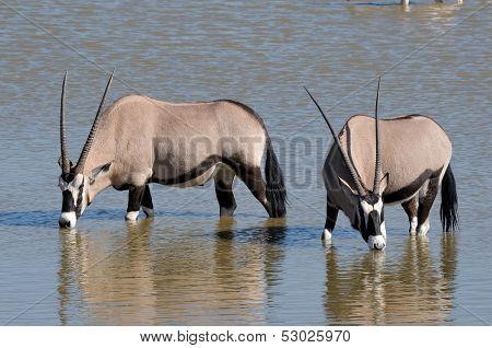 Orix (gemsbok) Drinking Water