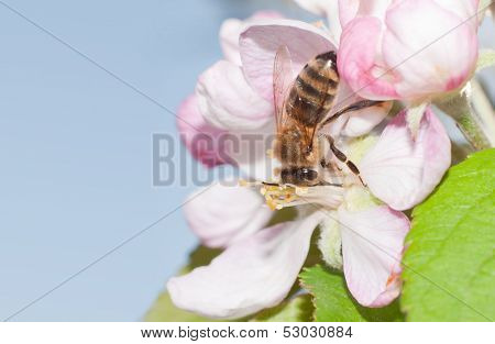 Honey Bee pollinating an apple blossom in early spring