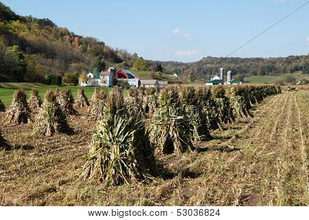 Amish corn harvest