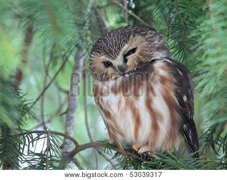 Northern Saw-whet Owl Napping