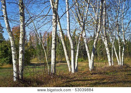 White Birch Meadow