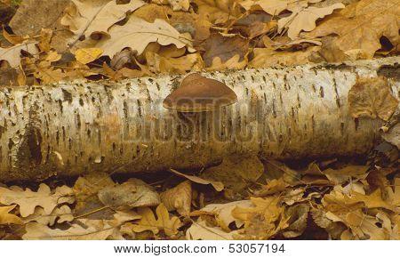 Birch tinder fungus (Piptoporus betulinus)