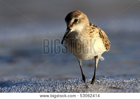 Sandpiper wading bird at sea shore