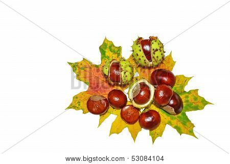 Conkers -  Horse-chestnuts