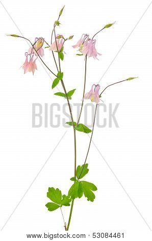 Aquilegia Vulgaris Flower