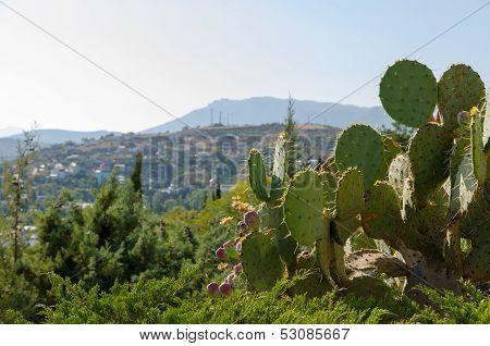 Crimean Coast. Cacti.