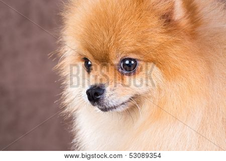 Close-up Portrait Pomeranian Dog