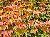 stock photo of english ivy  - red yellow green leaves of ivy in sunny autumn day - JPG