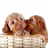 Two Small Puppies In A Wattled Basket.