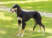 foto of slender  - A side view of a healthy beautiful grizzle black and tan Saluki standing on the lawn looking happy and cheerful - JPG